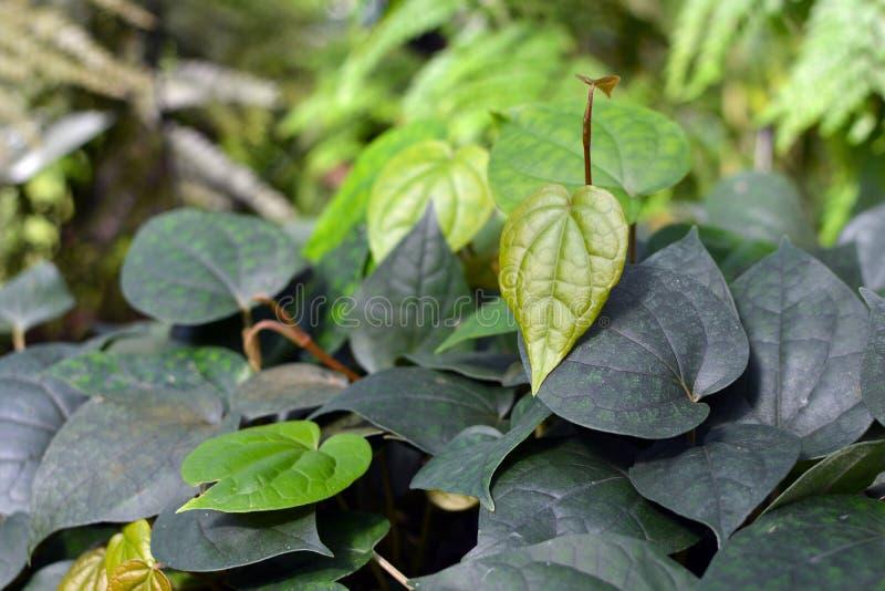 胡椒科吹笛者Nigrum为生产香料使用的黑胡椒植物报道gound 库存图片
