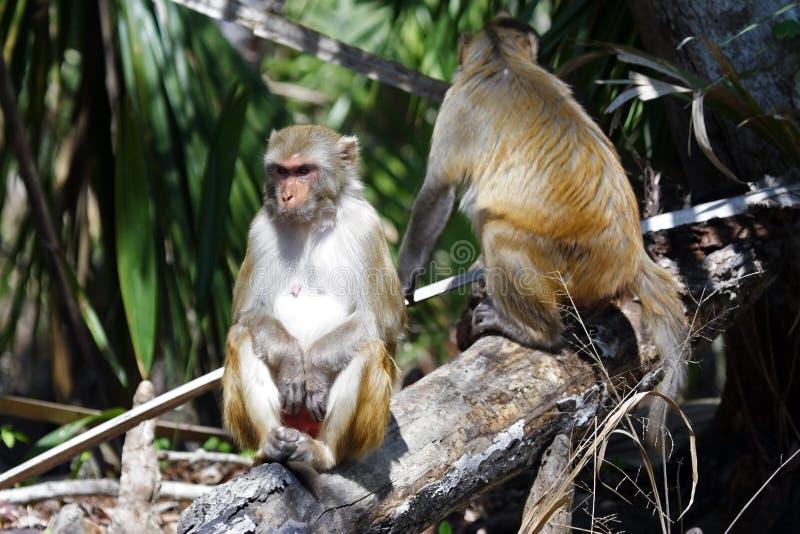 胡闹罗猴 免版税库存照片