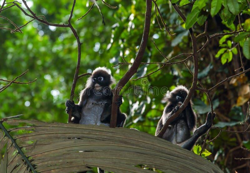 胡闹,暗淡的叶子叶猴Trachypithecus obscurus戴了眼镜叶子猴子 库存照片