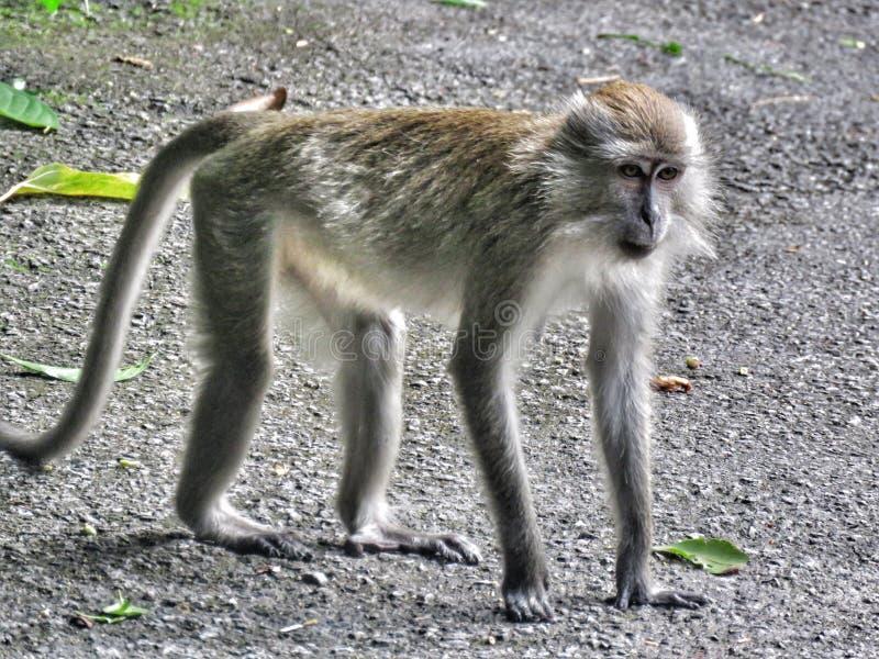 胡闹/Primate/猴子在吃短尾猿的狂放/螃蟹 免版税库存图片
