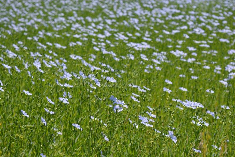 胡麻的美好的领域,开花在夏天 图库摄影
