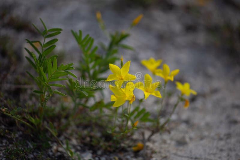 胡麻Linum ucranicum黄色颜色,共同的胡麻,油麻 免版税库存图片