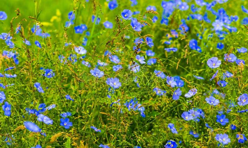 Download 胡麻花 蓝色胡麻开花的领域 库存照片. 图片 包括有 绽放, 爱达荷, 健康, 女衬衫, 生长, 生气勃勃 - 72353788