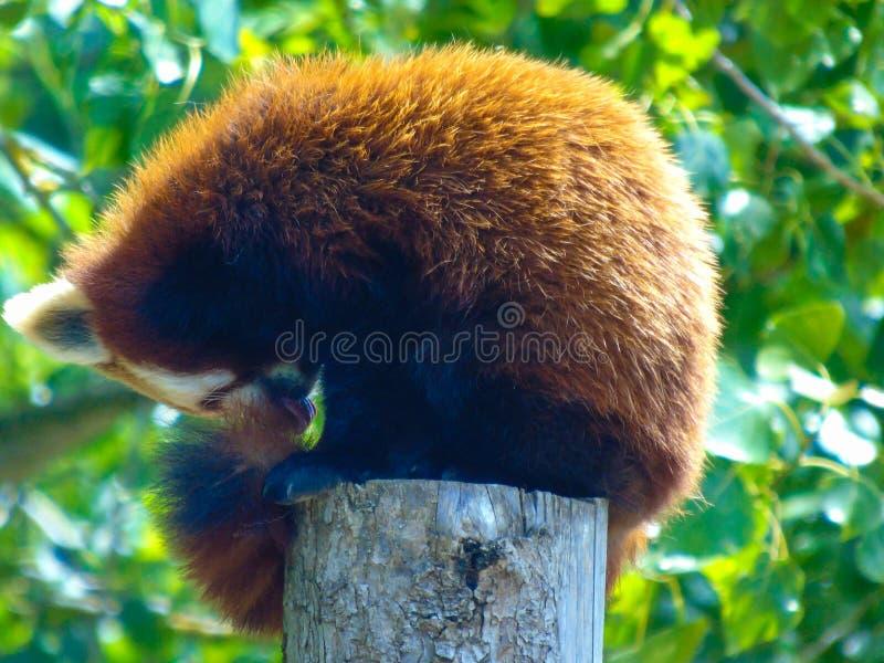 胭脂熊猫 免版税库存图片