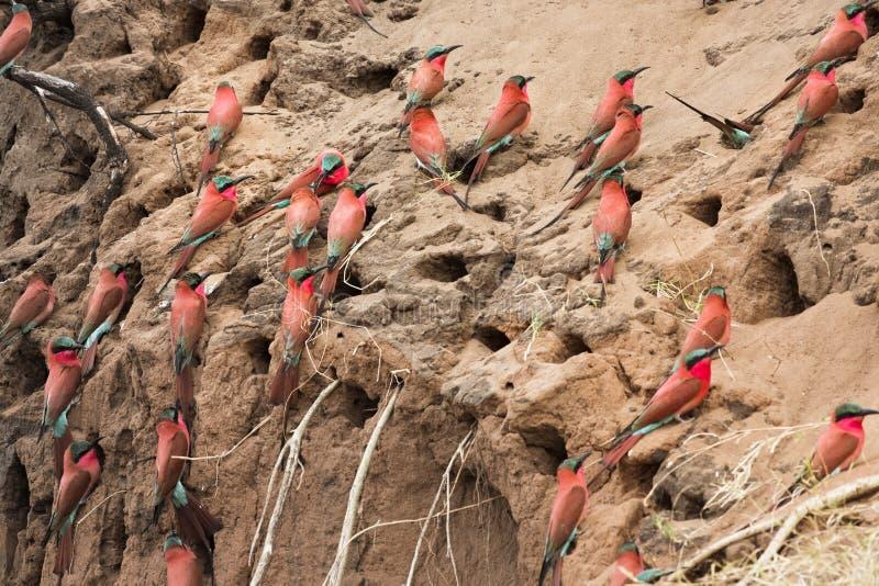 胭脂红食蜂鸟在奥卡万戈三角洲的食蜂鸟属nubicoides,马胃蝇蛆 免版税库存图片