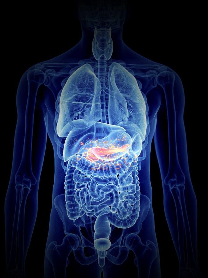 胰腺生产激素 皇族释放例证