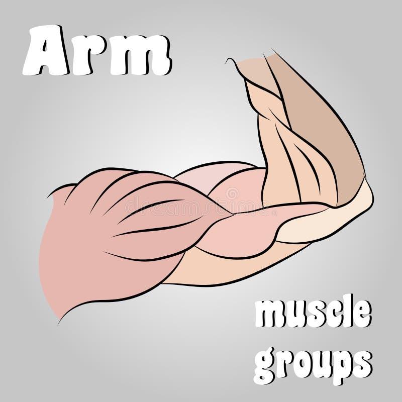 胳膊的肌肉小组 皇族释放例证