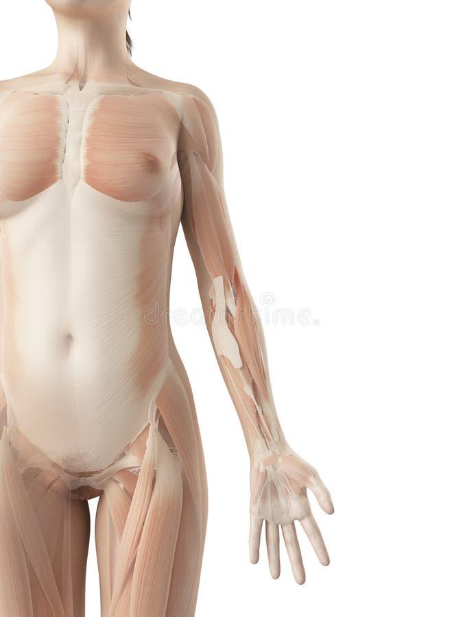 胳膊的肌肉 向量例证