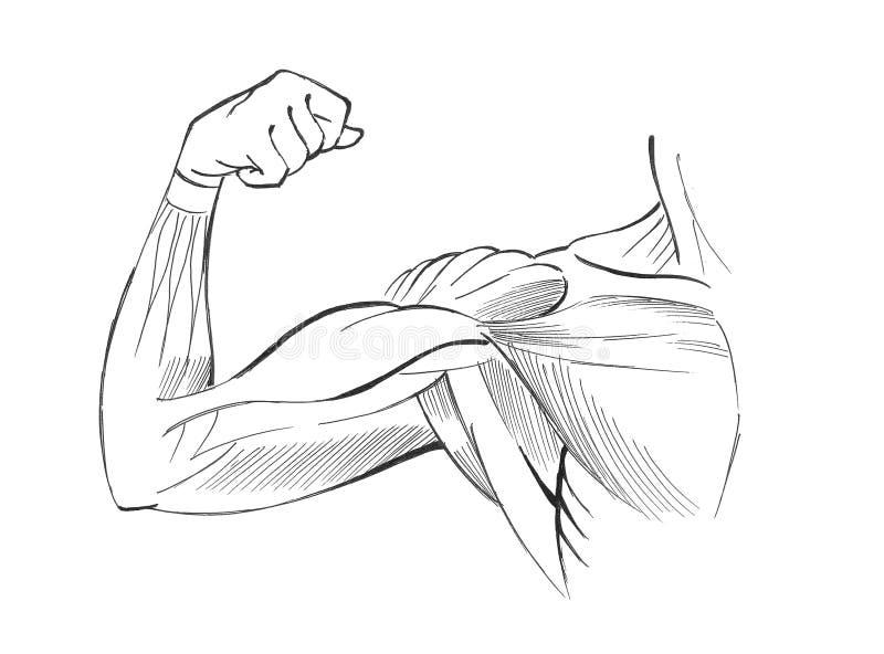 胳膊肌肉 向量例证