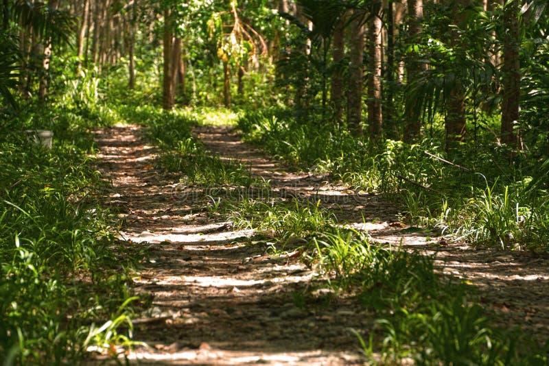 胶乳林场在普吉岛,泰国 免版税库存图片