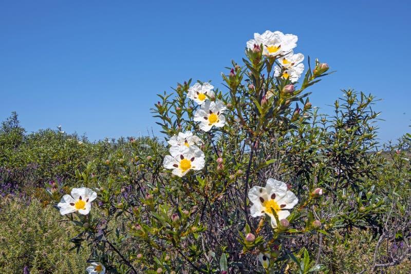 胶沙漠座莲在阿连特茹的领域的水犀科ladanifer在葡萄牙在春天 图库摄影