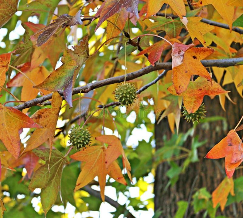 胶皮枫香树叶子和果子 免版税库存图片