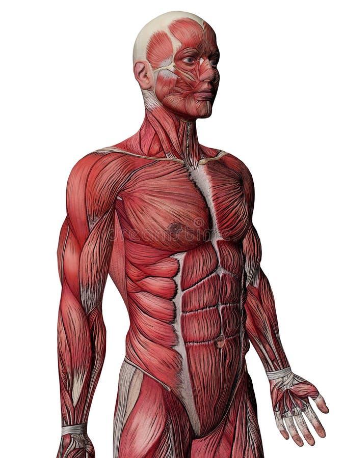 胸口人力肌肉X-射线 库存例证