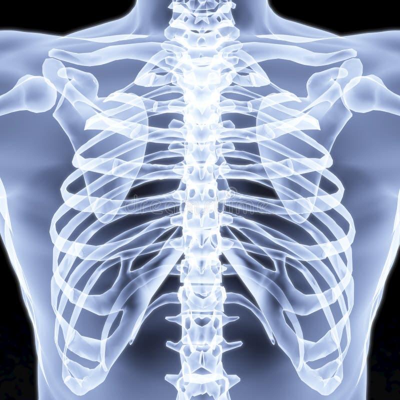 胸口 向量例证