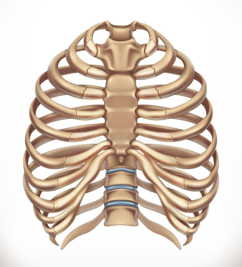 胸廓 人的骨骼,医学 3d向量 库存例证