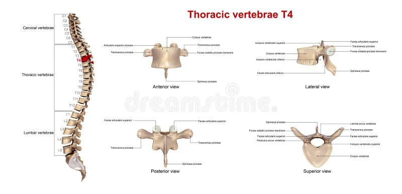 胸部椎骨T4 向量例证