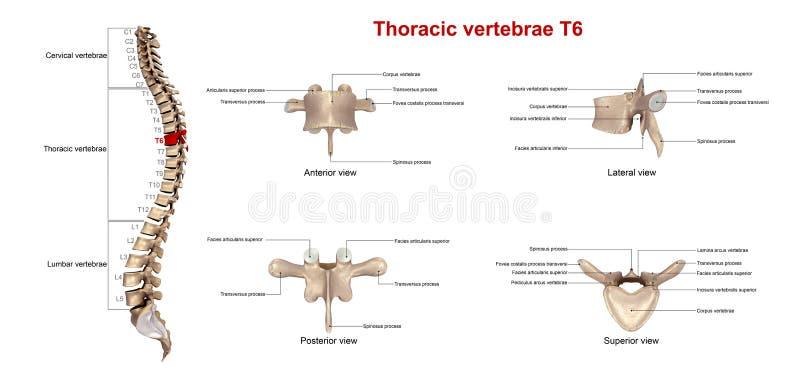 胸部椎骨T6 库存例证