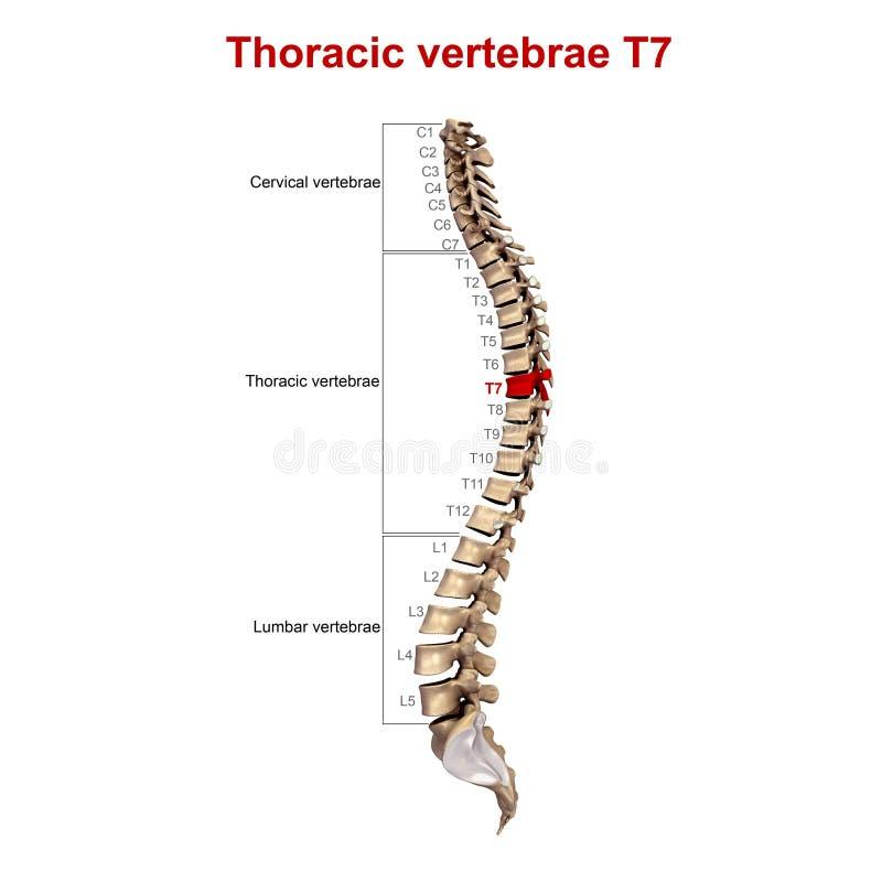 胸部椎骨T7 向量例证