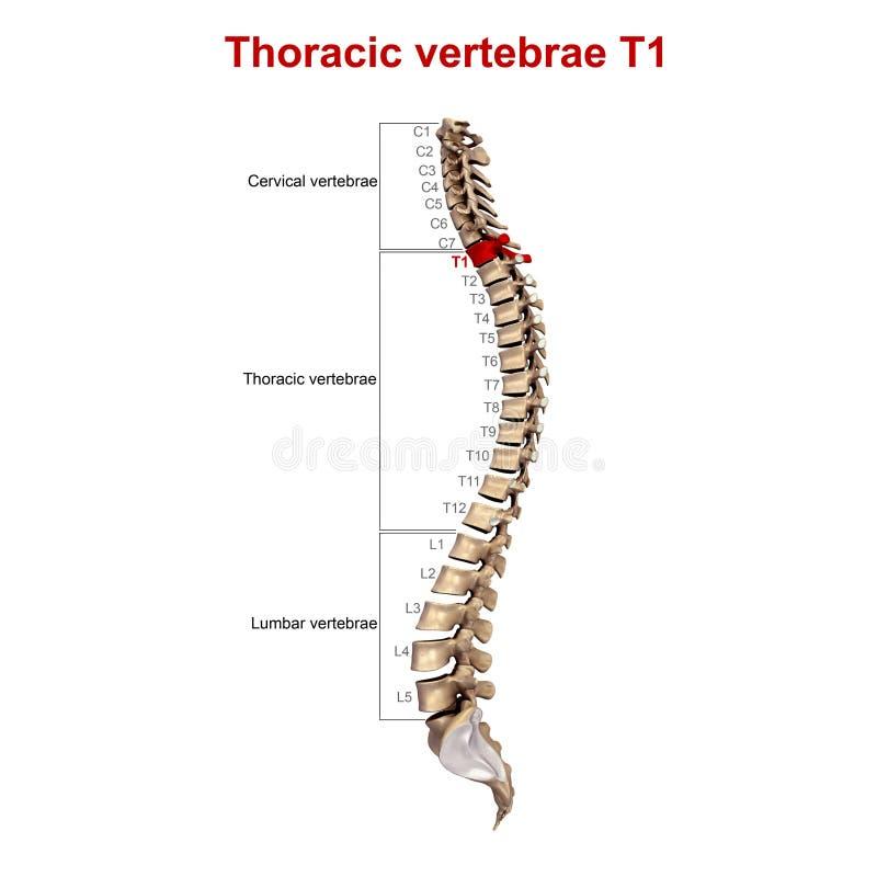 胸部椎骨T1 库存例证