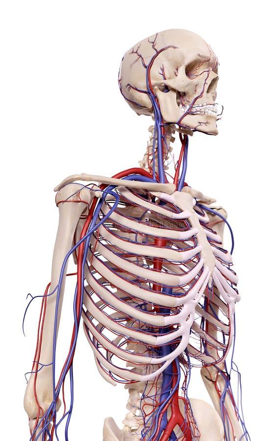 胸部血管 皇族释放例证