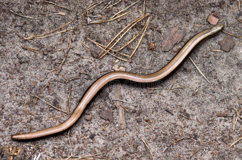 脆弱类的Anguis, slowworm,是一个无腿的蜥蜴当地人到欧亚大陆 免版税图库摄影