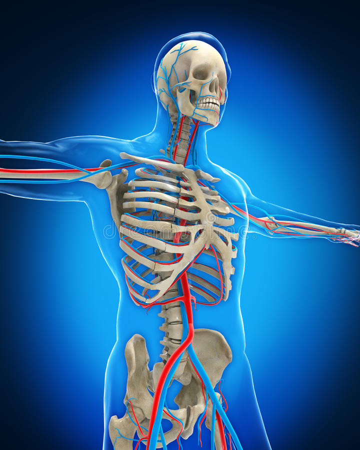 脉管系统 库存例证