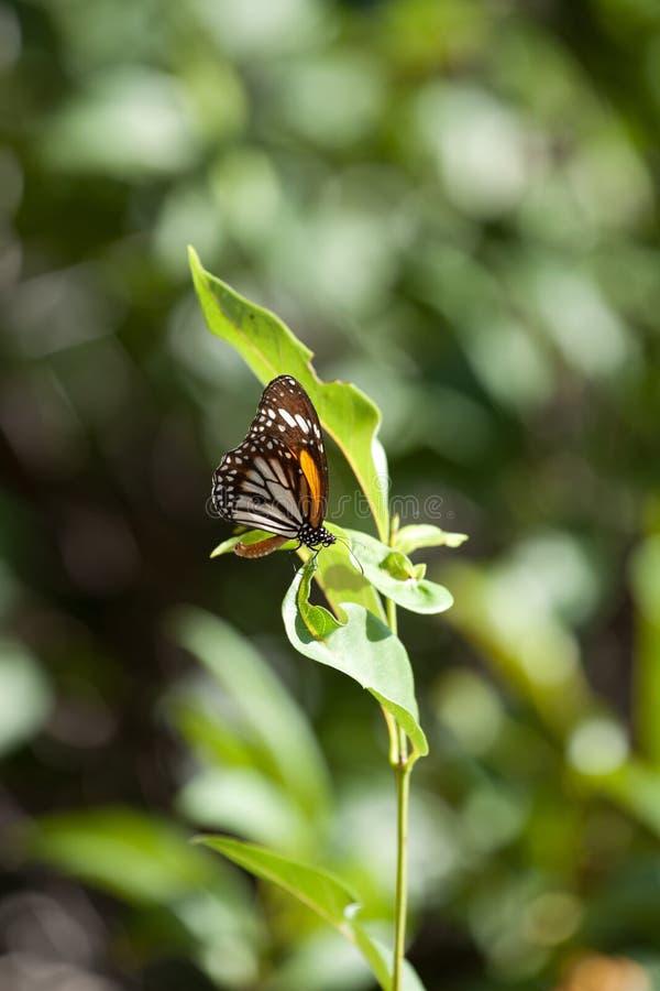 黑脉金斑蝶丹尼亚斯plexippus有自然绿色背景 免版税库存图片