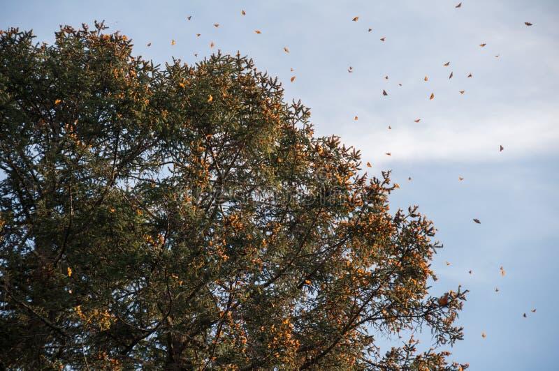 黑脉金斑蝶生物圈储备,米却肯州(墨西哥) 免版税库存照片