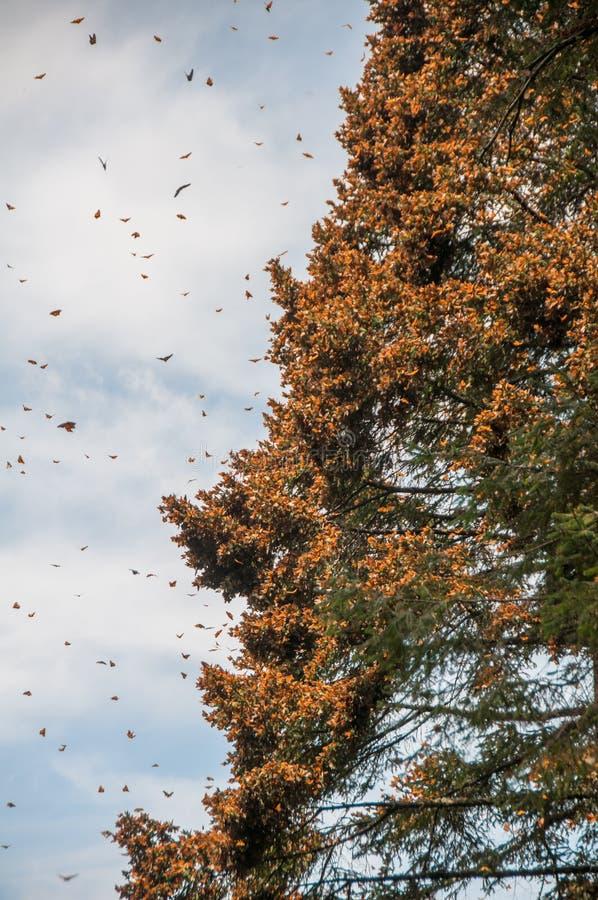 黑脉金斑蝶生物圈储备,米却肯州(墨西哥) 库存图片