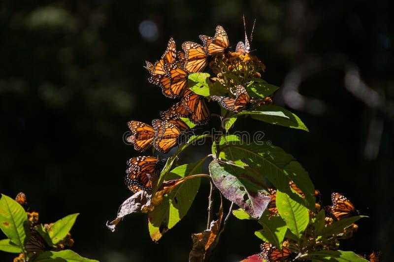 黑脉金斑蝶生物圈储备(墨西哥) 库存照片