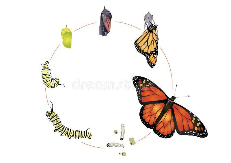 黑脉金斑蝶的生命周期 向量例证