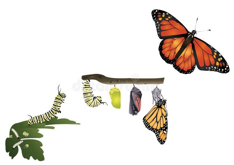 黑脉金斑蝶的生命周期 库存例证