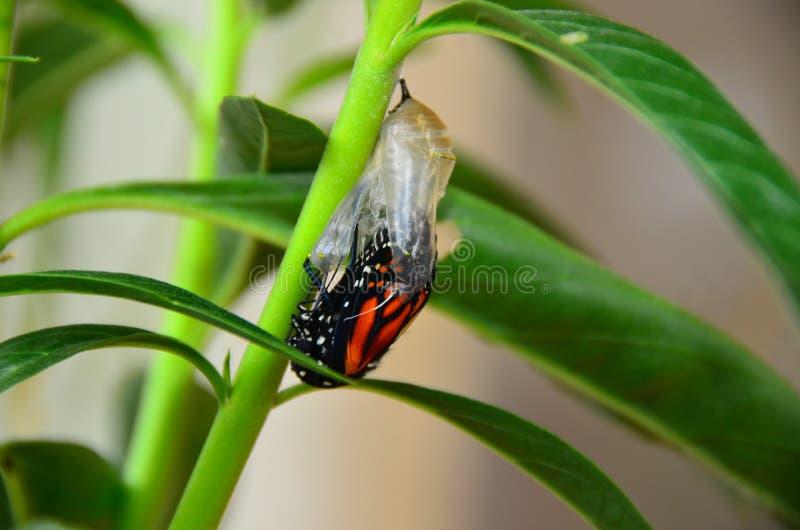 黑脉金斑蝶蝶蛹 库存照片