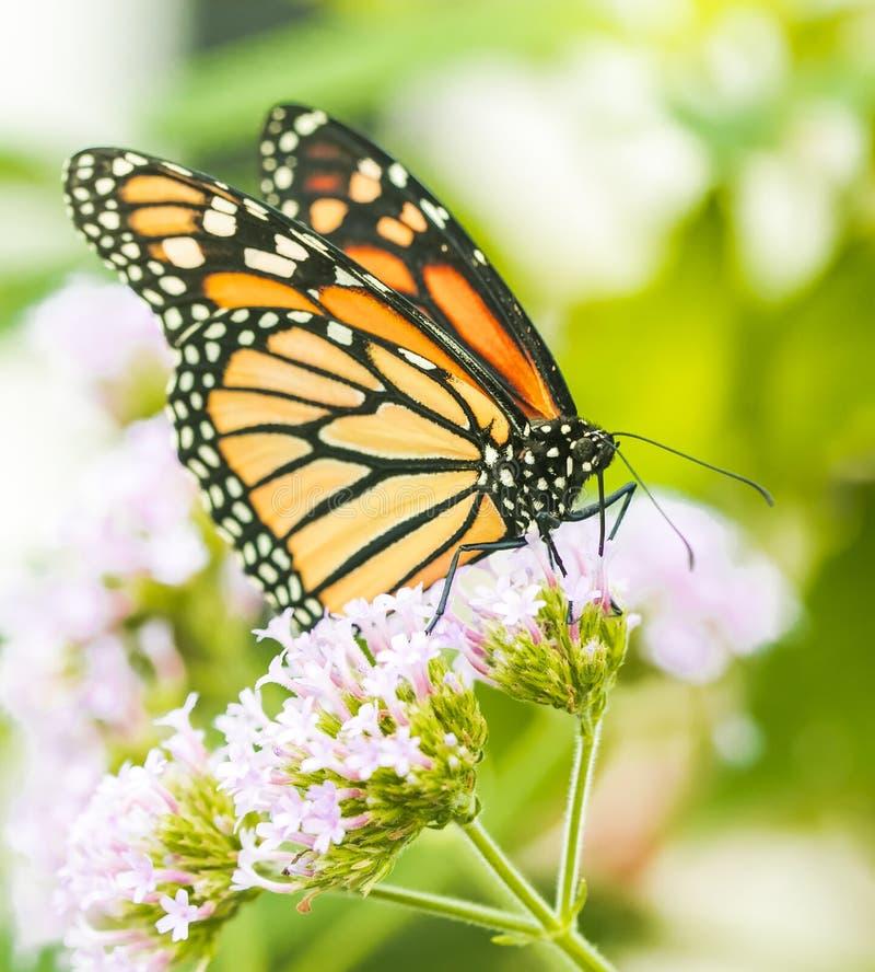 黑脉金斑蝶,宏观射击的关闭 免版税库存照片