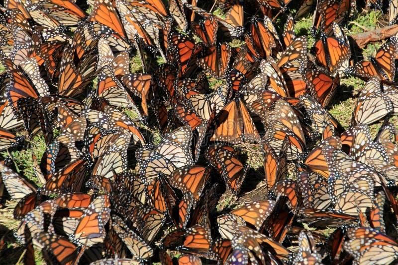 黑脉金斑蝶,米却肯州,墨西哥 库存照片