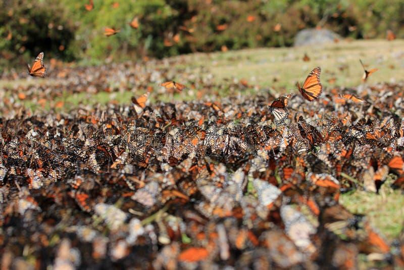 黑脉金斑蝶,米却肯州,墨西哥 库存图片
