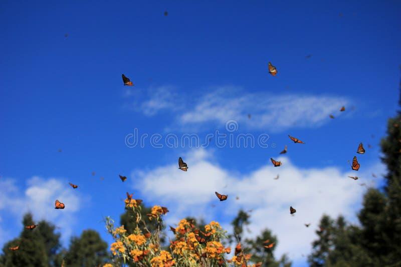 黑脉金斑蝶,米却肯州,墨西哥 图库摄影