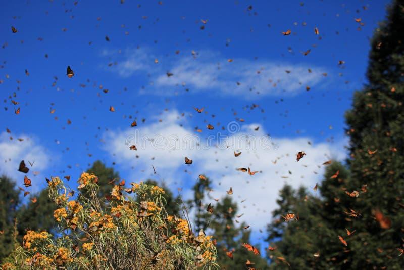 黑脉金斑蝶,米却肯州,墨西哥 免版税库存图片