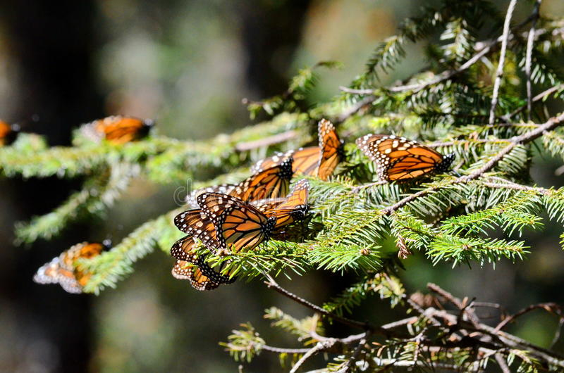 黑脉金斑蝶,米却肯州,墨西哥 免版税库存照片