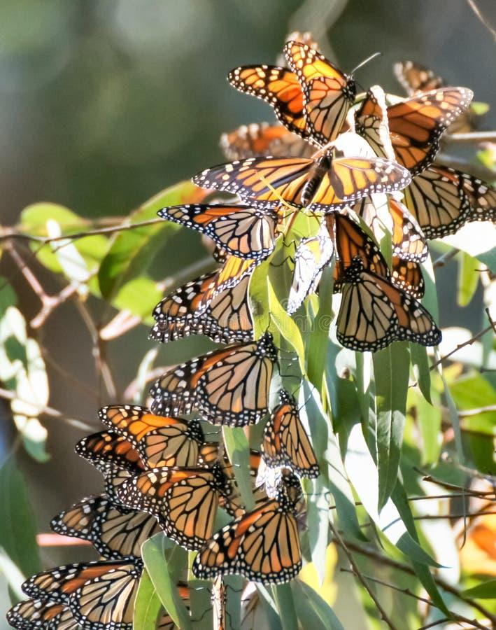 黑脉金斑蝶-丹尼亚斯plexippus 免版税库存图片