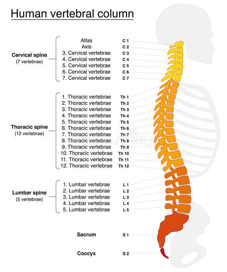 脊柱命名脊椎 皇族释放例证