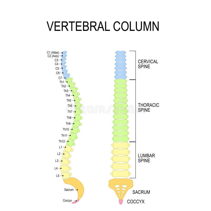 脊柱 人的椎骨的编号定货 库存例证