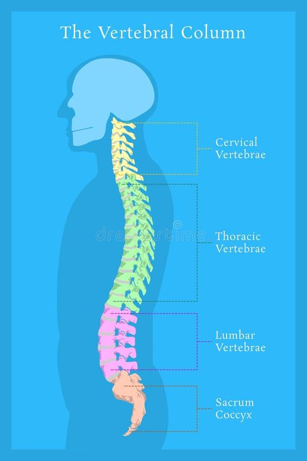 脊柱 所有椎骨子宫颈胸部腰部荐骨 向量例证