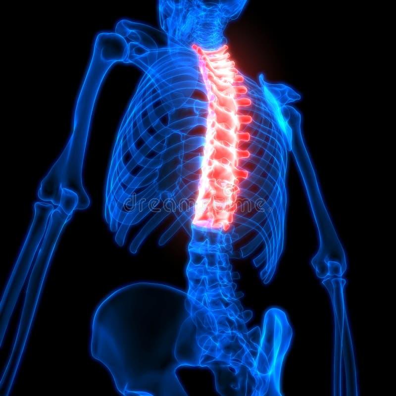 脊髓胸部椎骨每一部分的人的最基本的解剖学 皇族释放例证