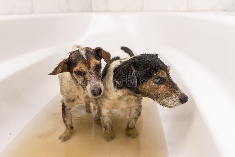 脏狗为洗涤准备 免版税库存照片