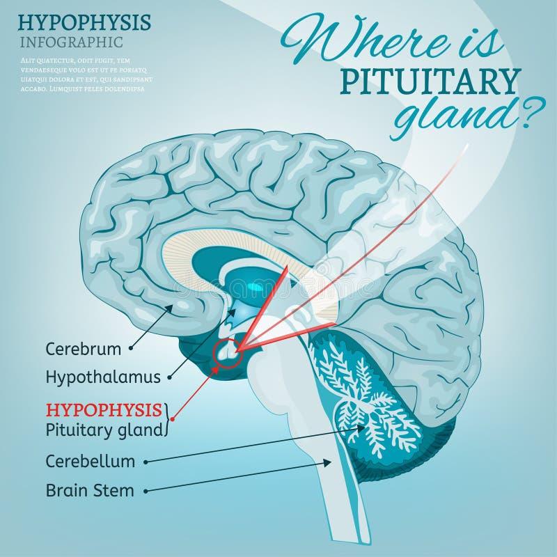 脑下垂体传染媒介 库存例证