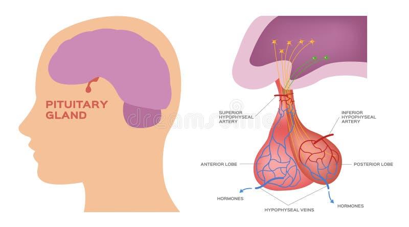脑下垂体 向量例证