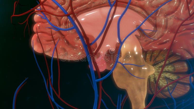 脑下垂体 库存例证