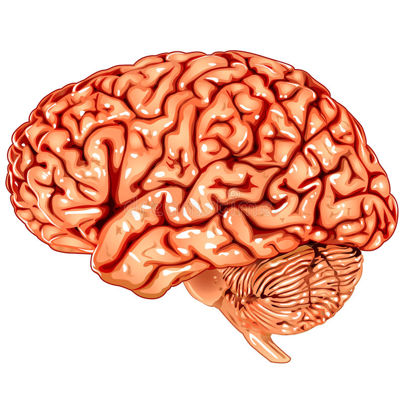 脑子人力侧向视图 库存例证