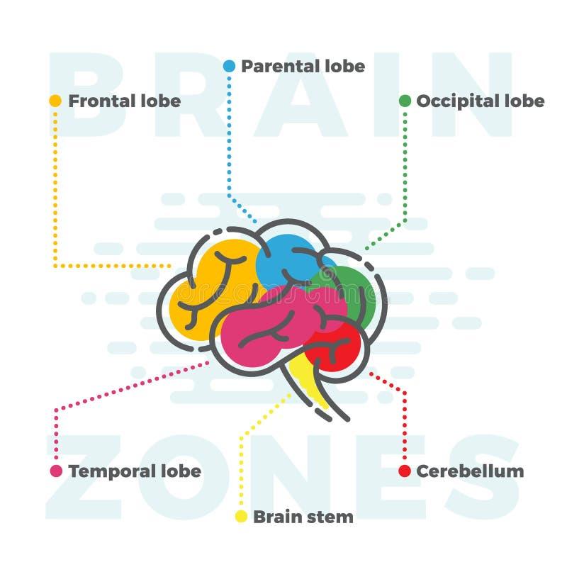 脑子分区计划 不同的耳垂五颜六色的Infographics在线和平的样式的 皇族释放例证